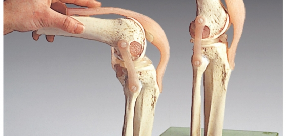 ns-50_functional-model-of-the-knee-joint-ac071ecac6c33dc65eca68ac91cdbc76.jpg